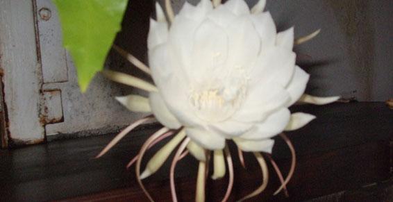 Fleur belle de nuit  Restaurant - Le Ratelot à La Trinité