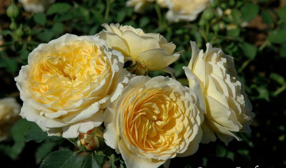 Casteu Gombert rosier buisson