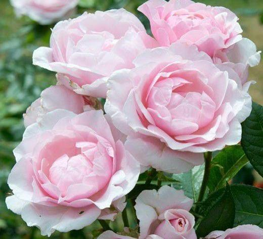 Gilles de brissac rosier buisson