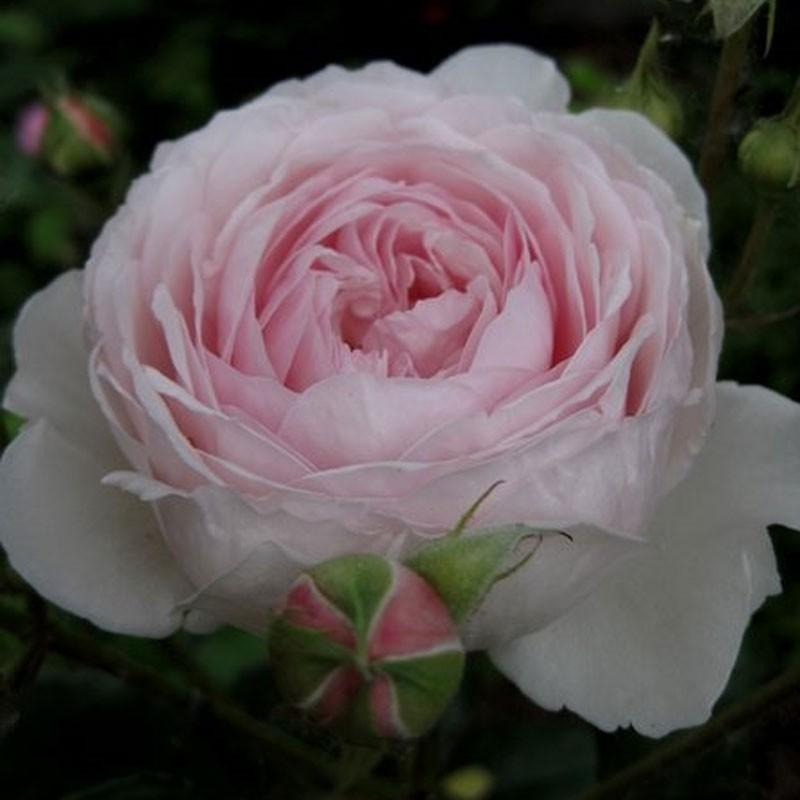 Geoff Hamilton rosier buisson Anglais