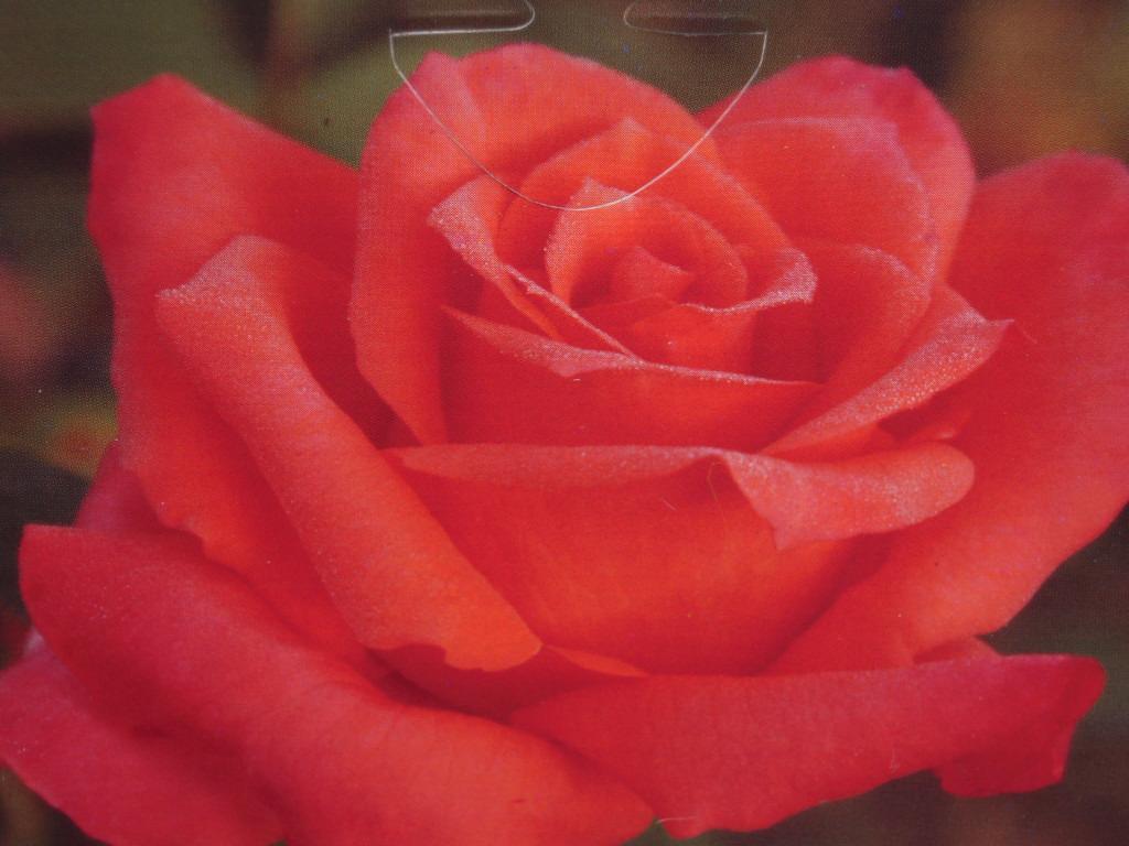 Anne Vanderlove rosier buisson3