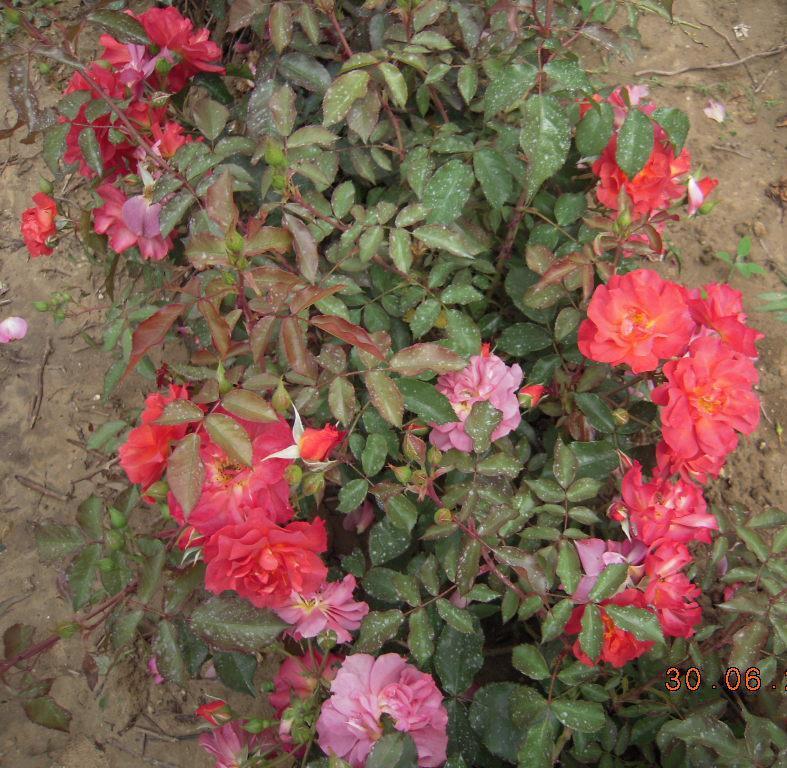 Cinco de Mayo rosier buisson