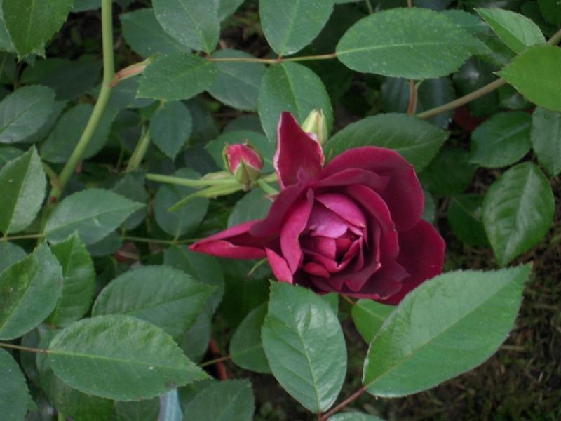 Burgundy Ice rosier buisson3