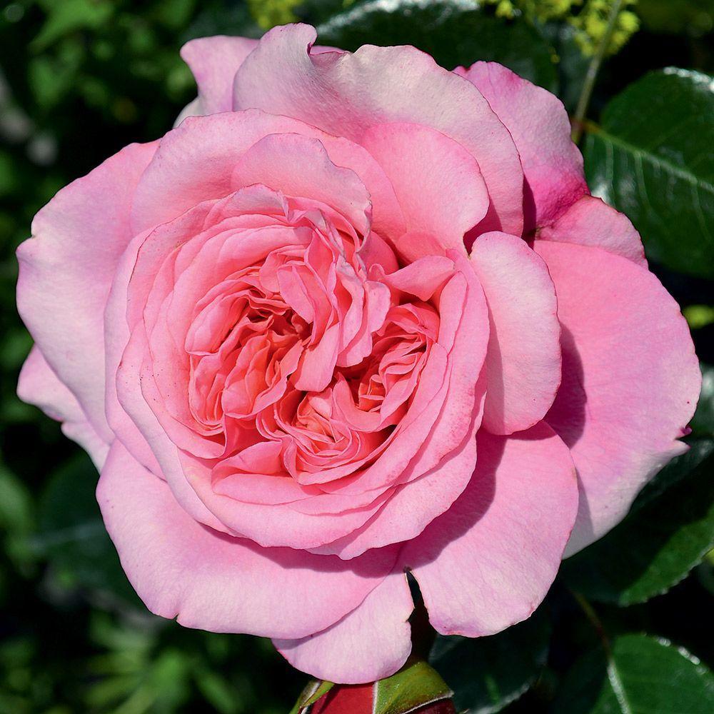 Pink Voluptia rosier buisson