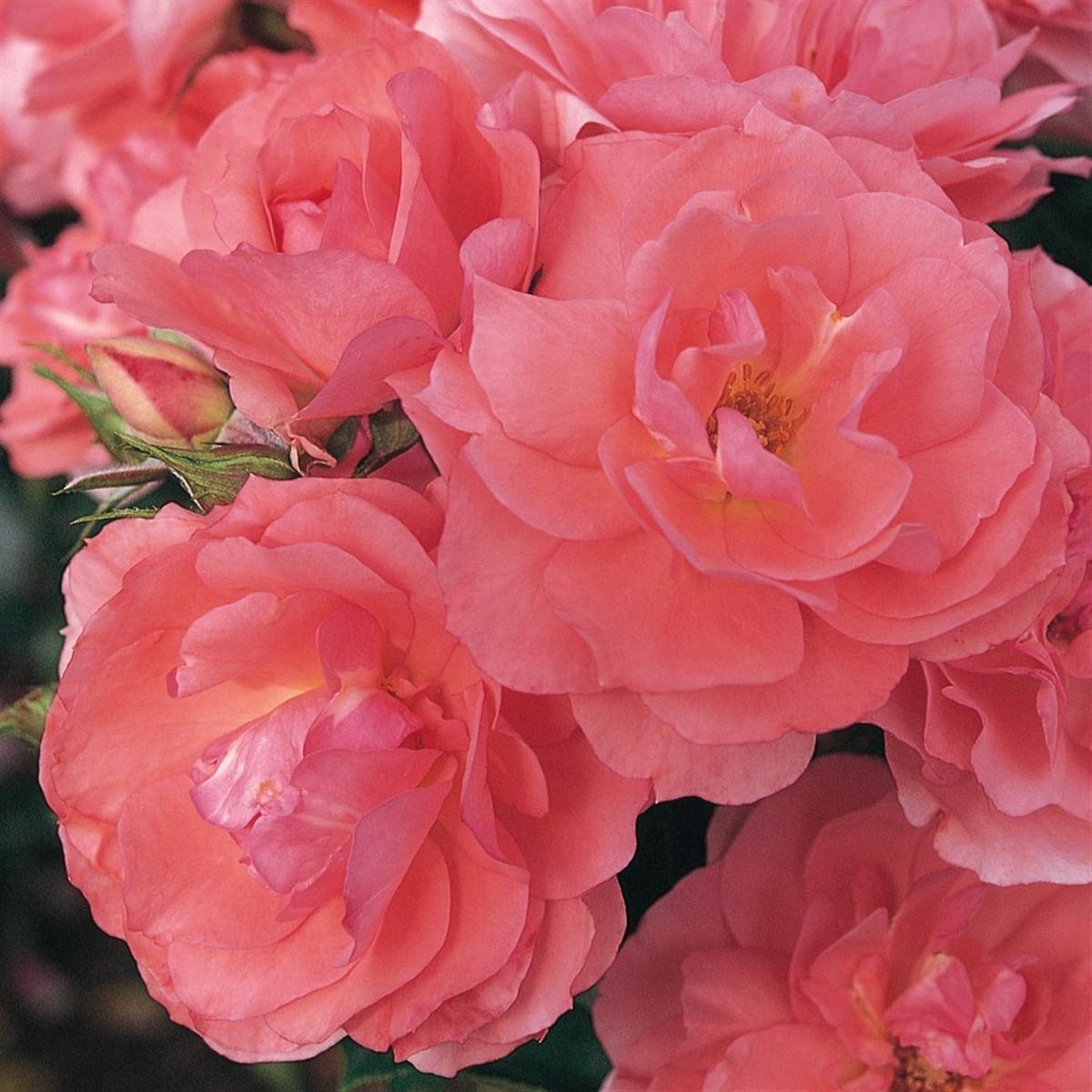 Jardin de France rosier buisson