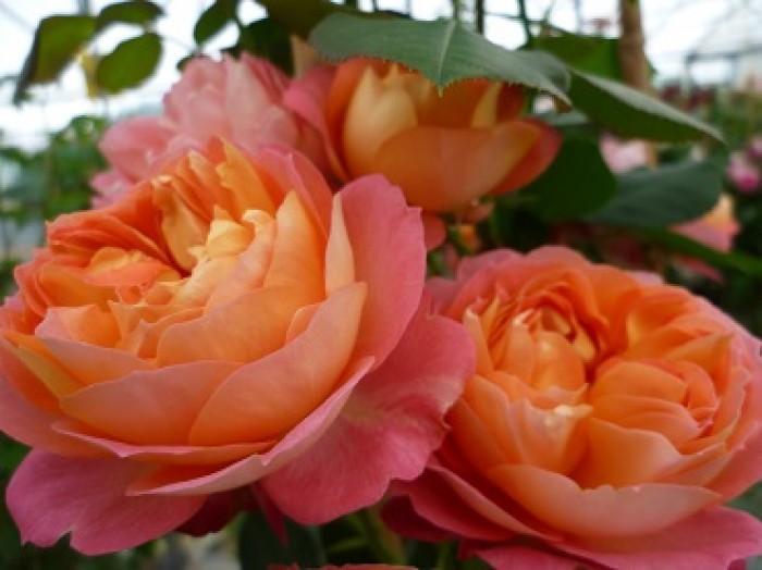 Baby Romantica rosier buisson