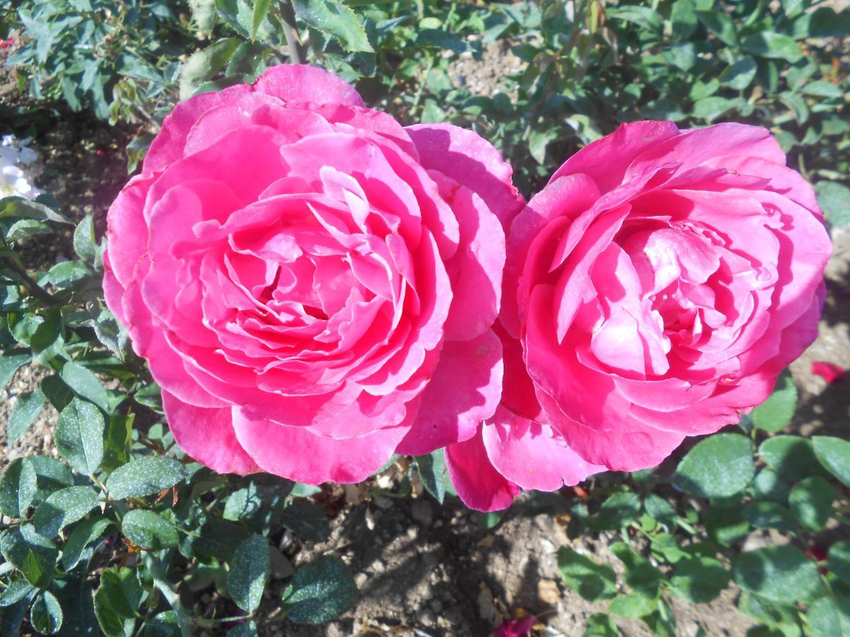 Caprice de Meilland rosier buisson