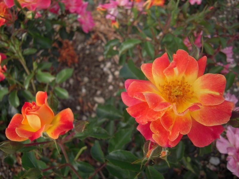 Tout Feu Tout Flamme rosier buisson