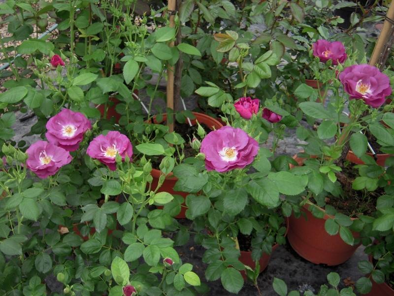 Rhapsodie In Blue rosier buisson
