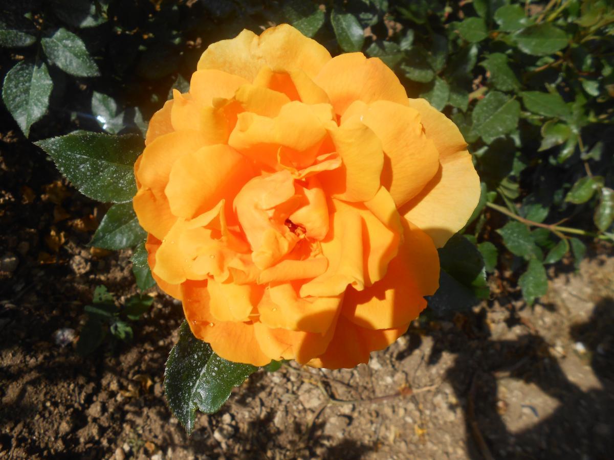 Veules les Roses rosier buisson