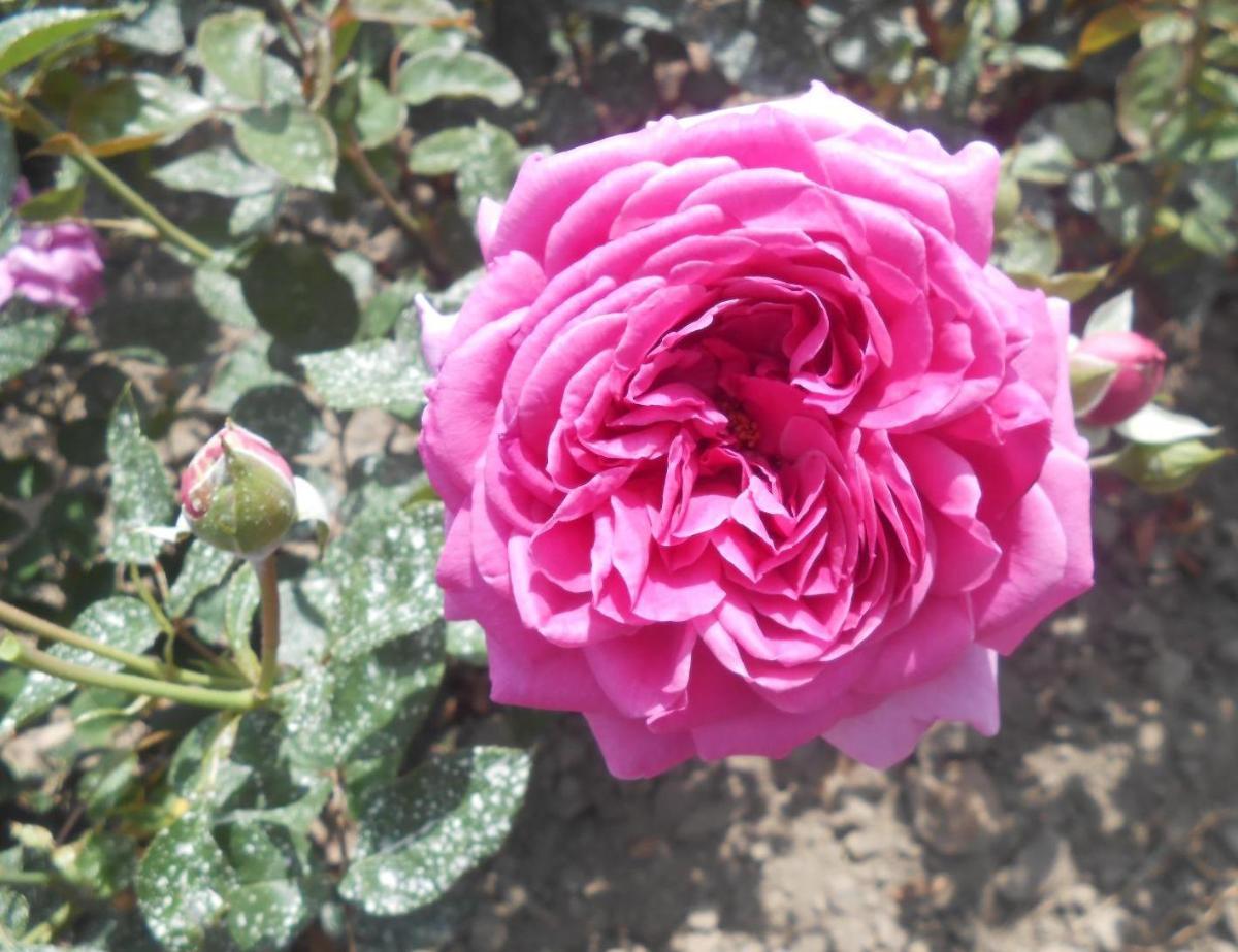 Sourire de Périgueux rosier buisson3