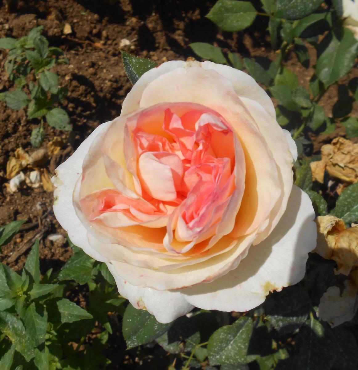 Boréale rosier buisson