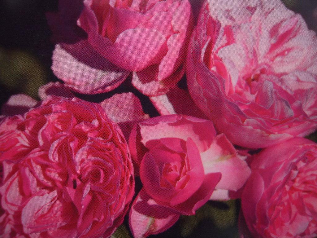 Léonard de Vinci rosier buisson3