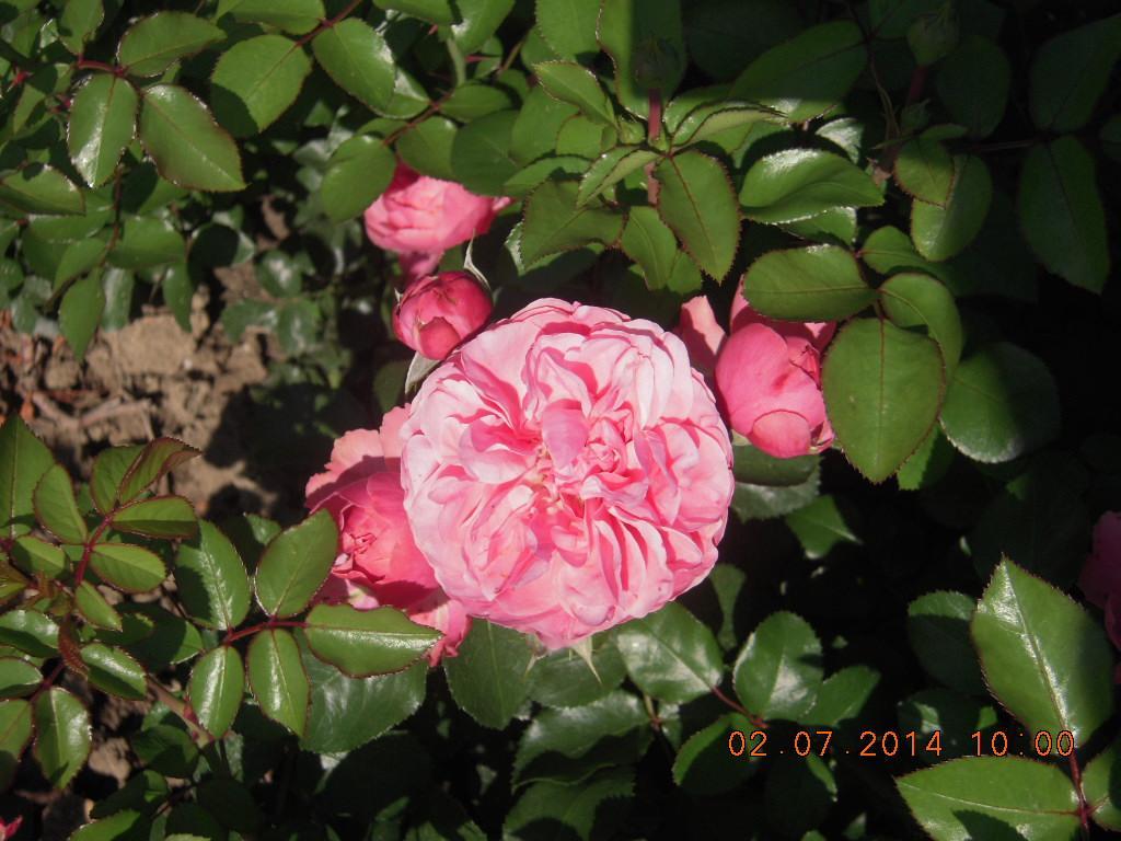 Léonard de Vinci rosier buisson