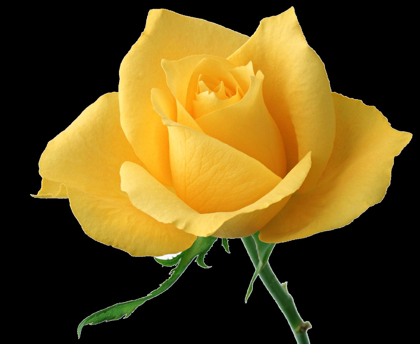 Rose+jaune
