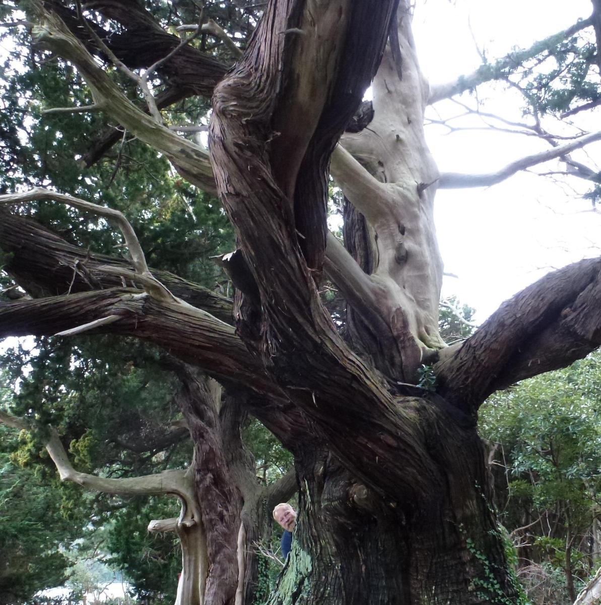 Juniperus millenaires de Numazu