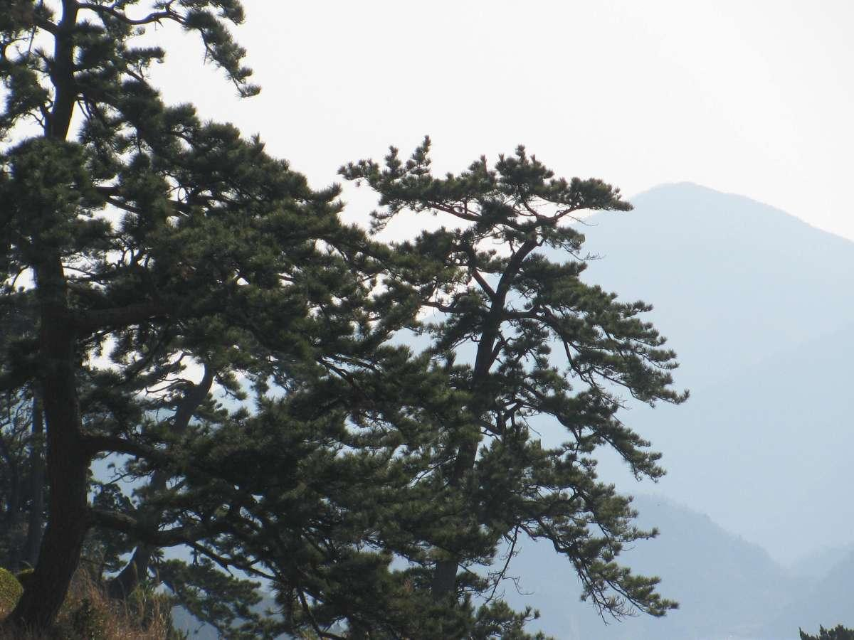 JAPON 2015 Pinus thumbergi  IZU