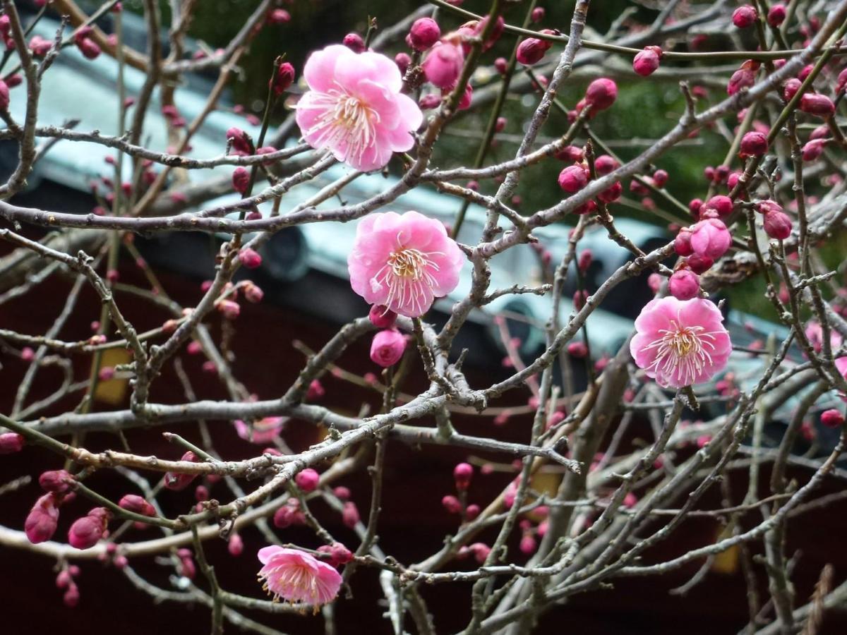 Prunus mume Photo  Bonsai Barber