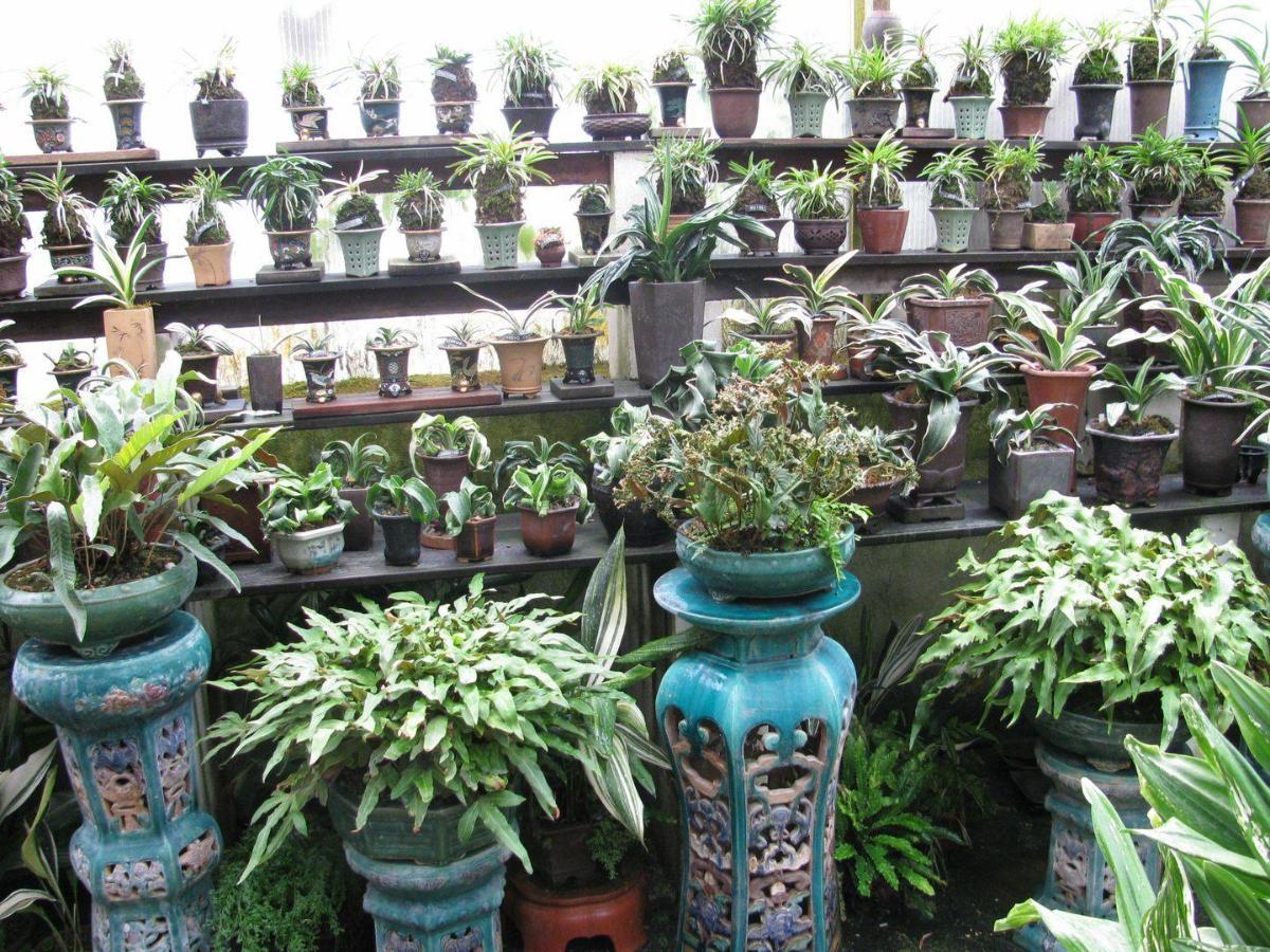 Fougeres ,Rohdea japonica et Neofinetia Bonsai Barber