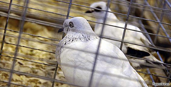 Elevage_pigeons_blancs_cage_PJ_140615.jpg