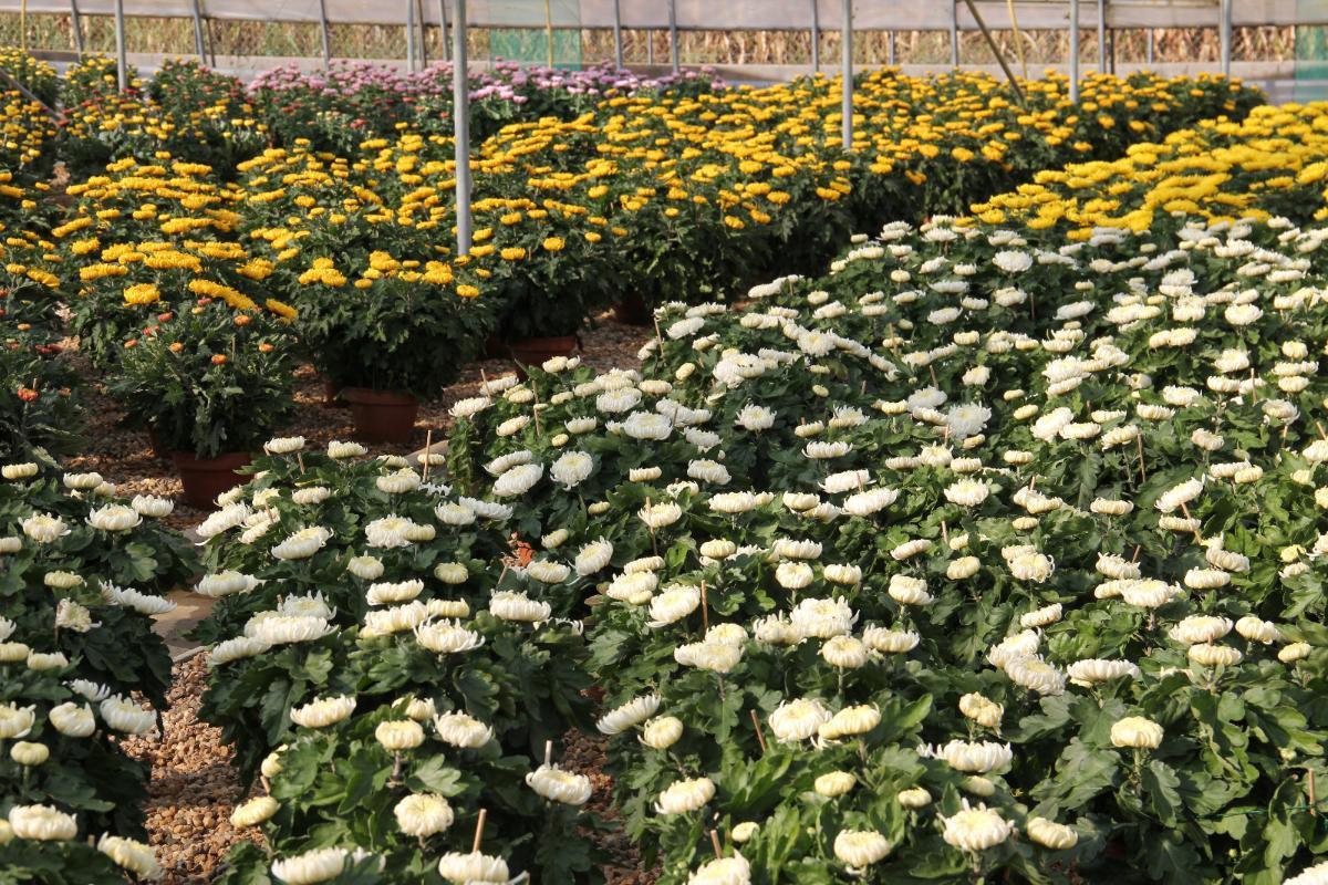Chrysanthèmes Grosses Fleurs - Condamin EARL à Chasselay (69)
