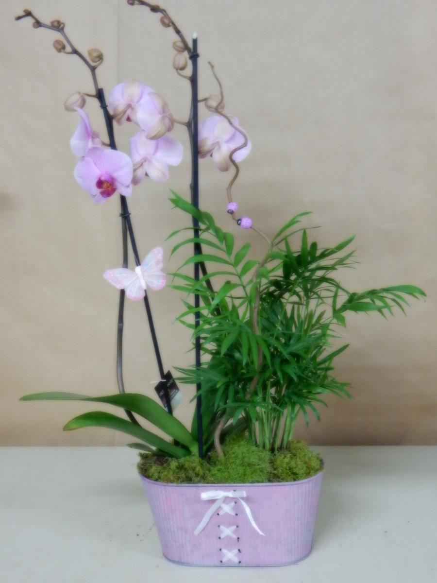 Orchidée phalaenopsis05