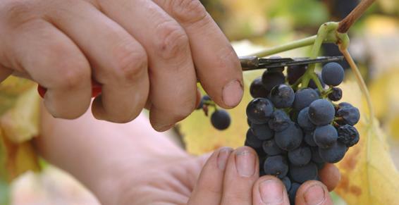 Viticulture à Chamery 51