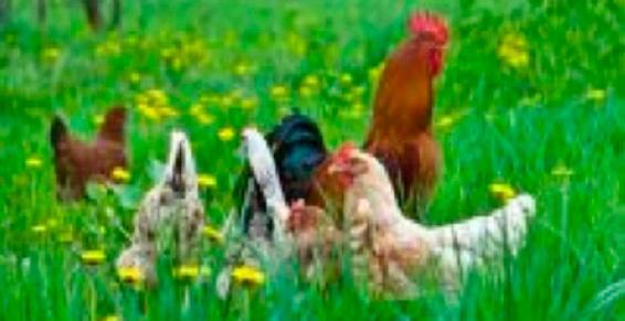 La Poussinière à Artigueloutan - Élevage de volailles, de lapins