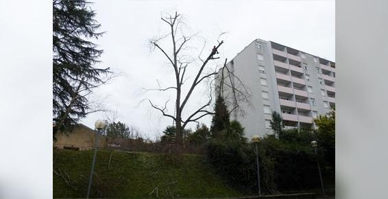 Entreprises d'élagage et abattage - Haubanage - Soins des arbres