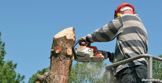 Elagage abattage  d' un arbre  avec une  tronçonneuse